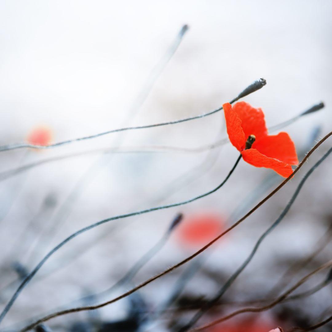 Remembrance Service & Poppy Drop